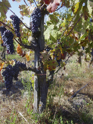 Motherlode Zinfandel (Olive Block Old Vine, Bedrock Vineyard...
