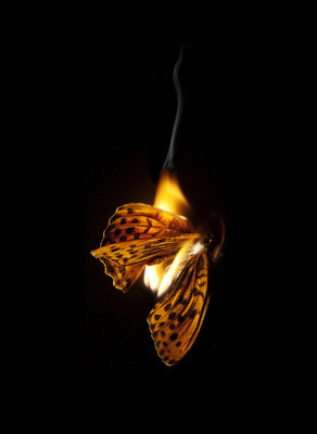 Burning Butterfly 25, 2013 By Mat Collishaw