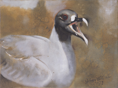 Swallow-tailed Gull, 1978