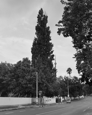 The Memory Of Trees 2 (Lombardy Poplar, Johannesburg), 2016