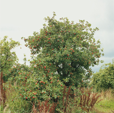 The Fragile Feast, Apple Tree, 2011