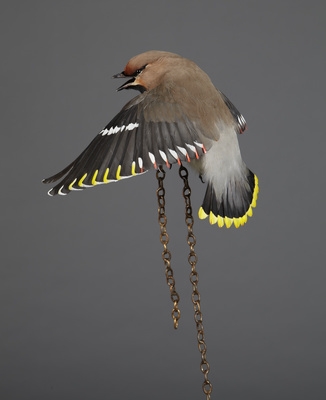 Spring Loaded (Waxwing), 2011