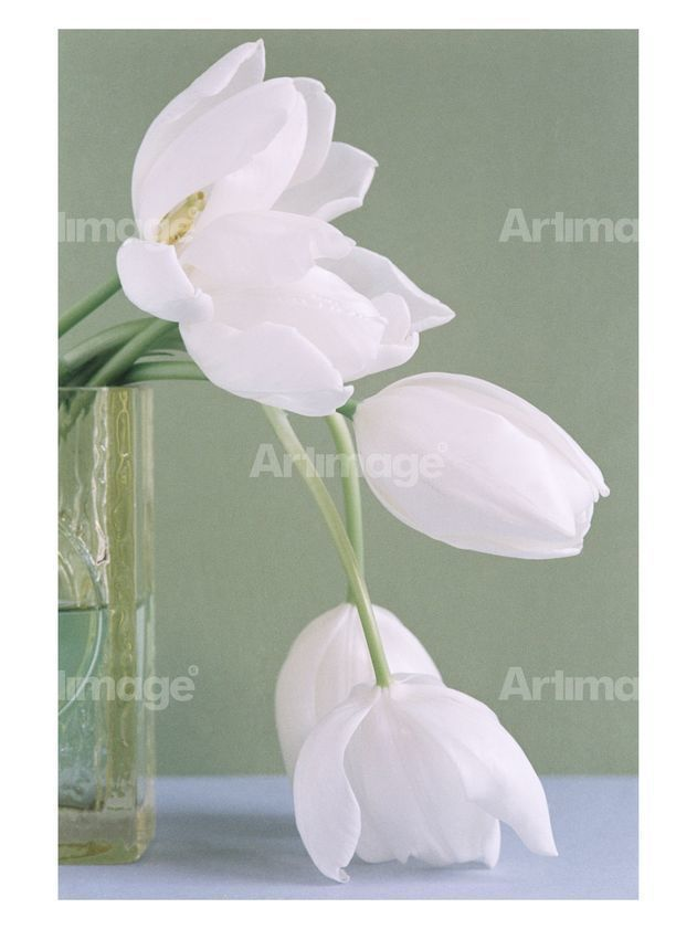 Enlarged version of Big, White Tulips, 2007