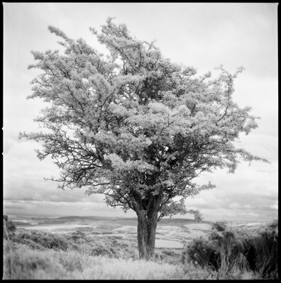 Tree, Exmoor (Infrared Film), 2011